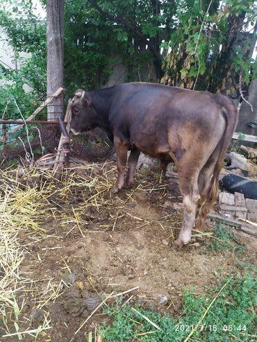 Животные - Каинды: Коровы, быки