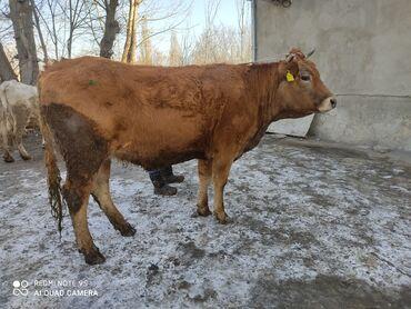 агентство элитной недвижимости в Кыргызстан: Продаю элитную племенную высоко дойных глубоко стельную тёлку Каров
