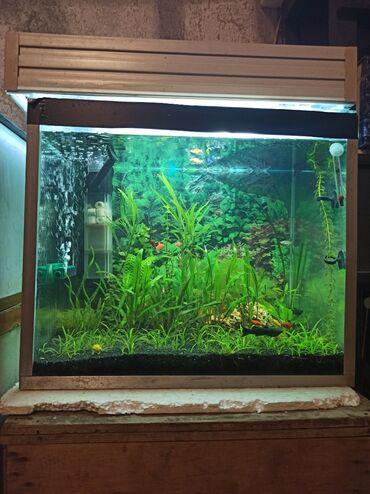 Akvarium satılır 130 azn. İçində 20 kilodan çox qara bazalt var. Alqn