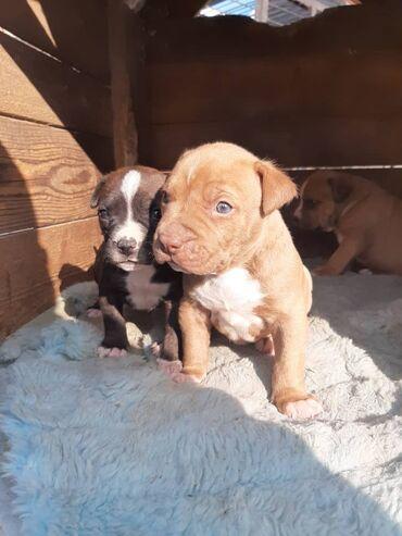 Собаки - Кыргызстан: Продаю Щенят Пидбуля и стафа