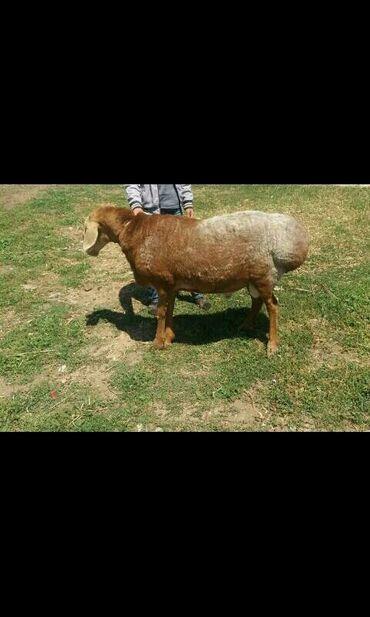 Животные - Семеновка: Бараны, овцы