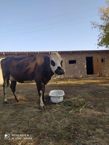 57 объявлений   ЖИВОТНЫЕ: Продаю   Корова (самка)   Швицкая   Для разведения   После отела
