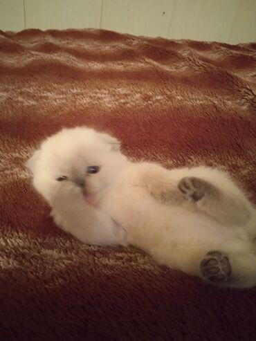 Готов к переезду котенок Шатландскии висло ушка ( фолд) кушает