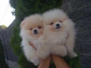 Животные - Тамчы: Шпиц шикарные детки! В питомнике супер скидки на щенят шпица! Фото