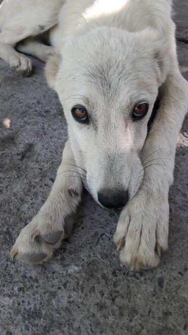 Продам щенка алабая 2.5 месяца (срочно)