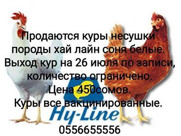 Животные - Кировское: Куры 3-месячные несушки породы хай лайн соня белые. Выход кур несушек