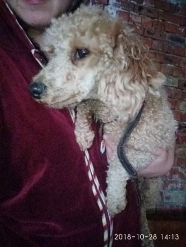 Срочно пропала собака пудель девочка в Шопоков