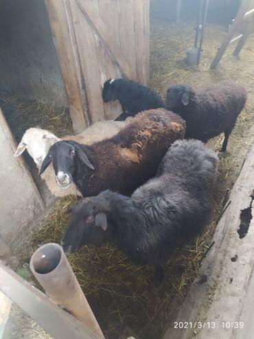 Продаю | Овца (самка), Ягненок