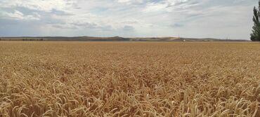 степ спада бишкек in Кыргызстан | АВТОЗАПЧАСТИ: Семена пшеницы озимой продаем:АЛЕКСЕИЧ (1Р)СТЕПЬ (Элита) - 40