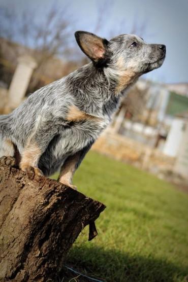 dog - Azərbaycan: Австралийская пастушья собака (Australian Cattle Dog)    Профессиональ