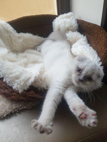 СРОЧНО!!!! Шотланский скоттиш фолд, родослловный котёнок,мальчик, при