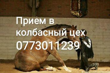 С/х животные - Кыргызстан: Принимаем в колбасный цехскот в живом или дорезаном видеприедем и