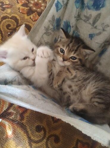 Продаю котят шатландские прямоухие тупорылые смешанные с обычным кот