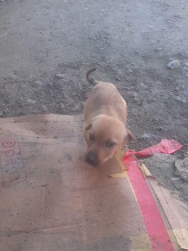 Животные - Газах: Собаки