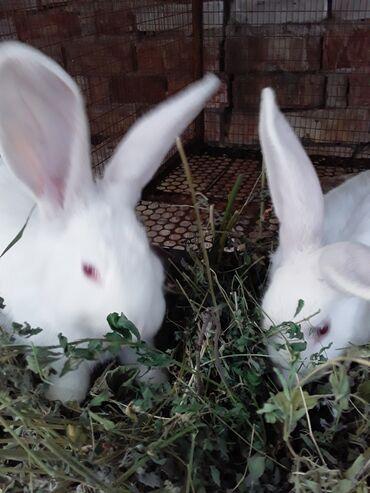 Декоративные кролики - Кыргызстан: Крольчихи Девочки около 6 месяцев цена 600 сом. С.Будёновка рядом с г
