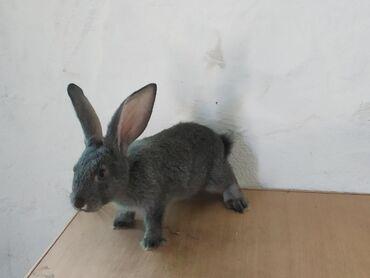 продам-крольчат в Кыргызстан: Продаю 2-х месячных крольчат Калифорнии и Бабочки