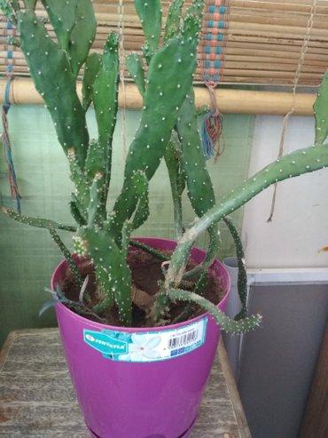 Bakı şəhərində Kaktus.