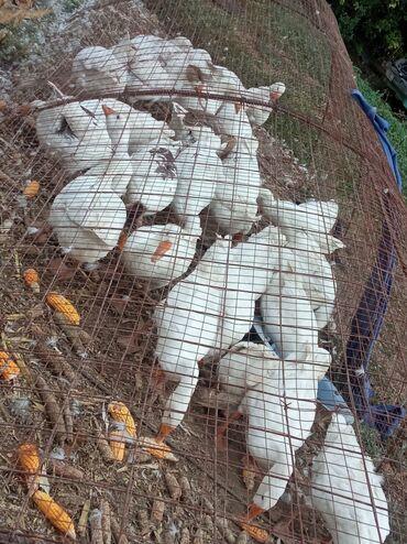 86 объявлений   ЖИВОТНЫЕ: Продаю гусей не дорого
