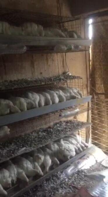 Животные - Кызыл-Кия: Несушка (сенди)лар сотувда 10-15 кунда тухум корсатишни бошлайди Йеб и