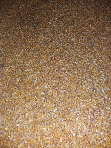 садовые растения в Кыргызстан: Кукуруза сухой 150 тона