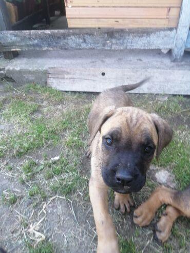 Ostali kućni ljubimci i životinje | Srbija: Na prodaju stenci cane corsoStenci su stari dva ipo meseca vakcinisani