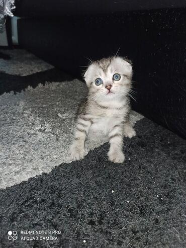 аренда квартир кант in Кыргызстан   ПОСУТОЧНАЯ АРЕНДА КВАРТИР: Открыта бронь на шотландскаюих котят. родились 17сентября. мальчик