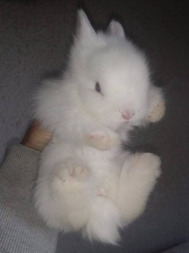 Na prodaju   mladi patuljasti zecevi, uzrasta 1,5 mesec.   100% cista - Beograd