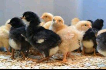 Продаю  цыплят. Разных пород. И в Лебединовка