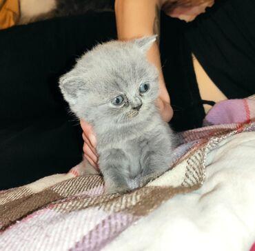 вислоухий шотландец котенок в Азербайджан: Шотланский котенок 1 месяцев