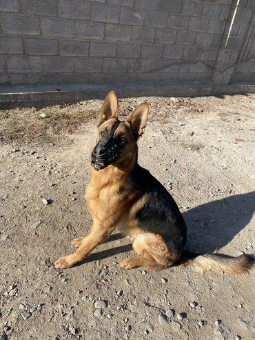 животн в Кыргызстан: Пропала собака !немецкая овчарка кабель . 05.01.2021 примерно в 19-2