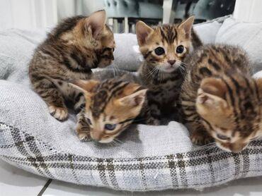 Γατάκια της Βεγγάλης. Αυτά τα γατάκια είναι όμορφα μέσα και έξω. Έχουν