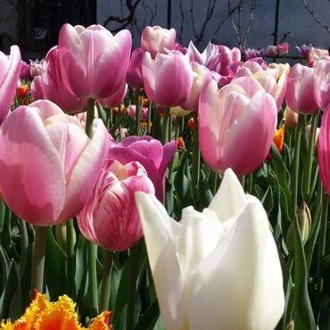 тюльпаны бишкек in Кыргызстан | ГРУЗОВЫЕ ПЕРЕВОЗКИ: Тюльпаны смесь продаю. Крассные голландские тюльпаны