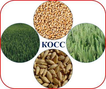 Семена и уличные растения - Сокулук: Кыргызская опытно-селекционная станция по сахарной свекле - реализует