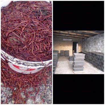 Черви старатель для переработки в Каракол