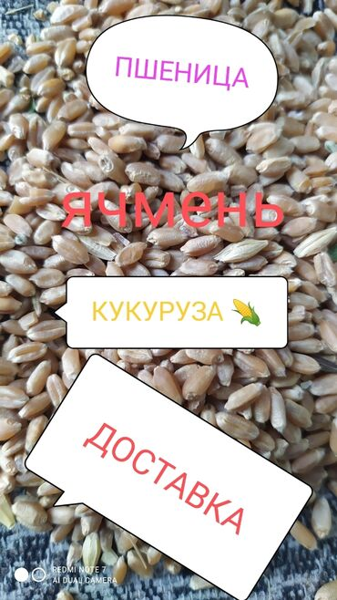 ячмень бишкек in Кыргызстан   ГРУЗОВЫЕ ПЕРЕВОЗКИ: Арпа сатылат Дүң жана чекене+тартылган жемида бар келишим баада