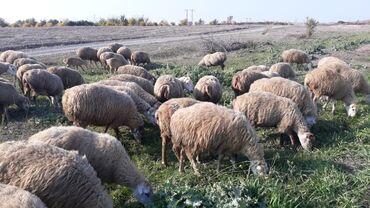 qoyunlar - Azərbaycan: 78 ana qoyun 2 qoc 13 toxlu 7 keciQoyunlar 1 2 3 dogmus qoyunlardi 6