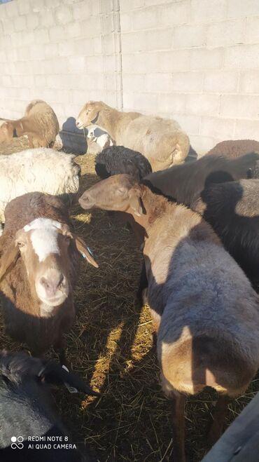 Продаю | Овца (самка), Ягненок | Полукровка | Для разведения | Племенные