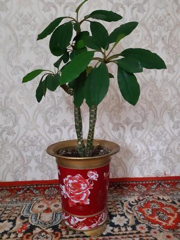 растение-комнатная в Кыргызстан: Для дома и для офиса