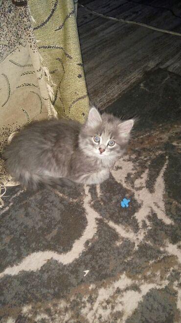 Животные - Кок-Джар: Девочька 1.5 месяца Бишкек
