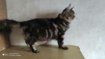 стерилизовать кошку в Кыргызстан: Отдам в добрые руки породистую кошку Мейн Кун 3 года чистоплотная