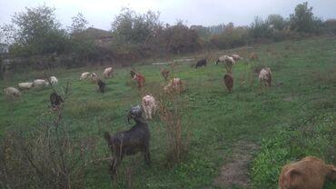 22 elan | HEYVANLAR: Salam 3 4 qarın doğmuş 12 ana keçi 6 dənə 8 ayliq (3 dişi 3 erkək)