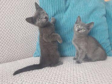 Ρωσικά γατάκια μπλε Χαριτωμένα και παιχνιδιάρικα γατάκια έτοιμα για νέ
