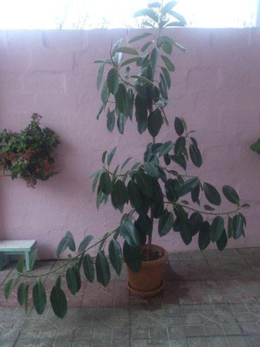 Xaçmaz şəhərində Fikus ağacı