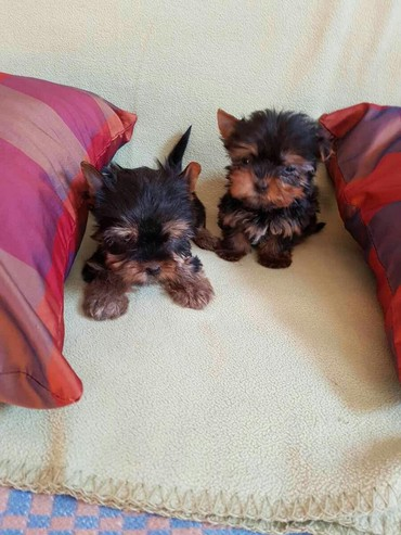 Yorkie toy σε Central & West Suburbs