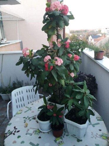 Kućne biljke | Srbija: Hristov trn, sobna biljka, cveta preko cele godine, cena u zavisnosti