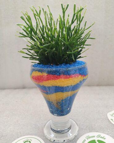 Bitkilər üçün dibçəklər - Azərbaycan: Флорариум.Растение: Рипсалис.(Суккулент)Песок: Кварцевый.Цена: 35