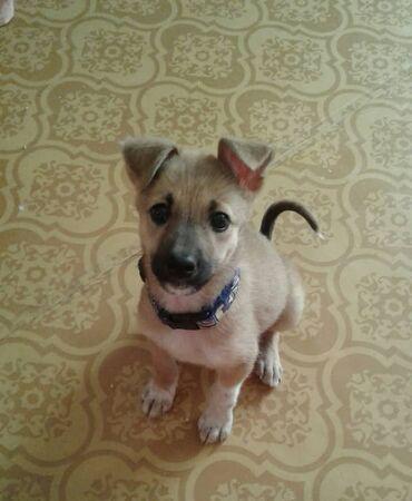 Животные - Кара-Балта: Отдам в хорошие руки щенка! В квартиру или дом, жизнь буду