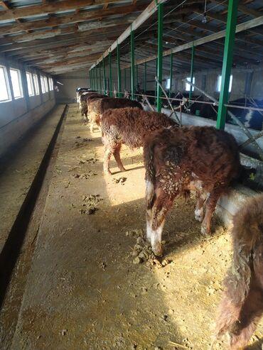 электроды арсенал оптом в Кыргызстан: Бычок сатылат 7-8 айлык болот 10 баш коп алам десе дагы бар. Бычок Б