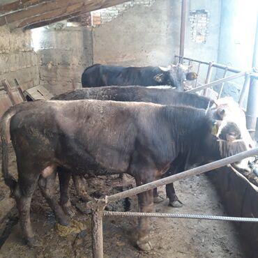 Животные - Ивановка: Продаю трёх бычков на докорм за троих 250.000 окончательно