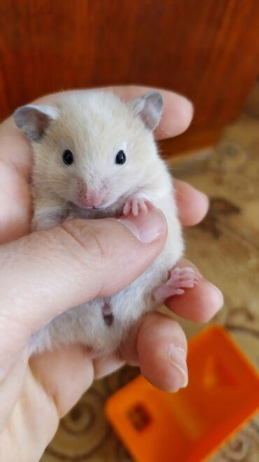 Хомяки - Лебединовка: Продаю малышей сирийского хомяка. Детки родились 25 августа. Очень